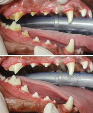 Above: 4 year old dog with grad 1 dental disease. Below: After dental prophylaxis - a fresh start!